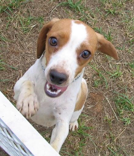 Pocket Beagle   Beagle Puppy